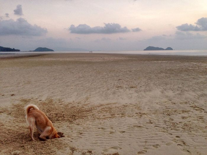 High Angle View Of Dog Digging Sand At Beach Against Sky