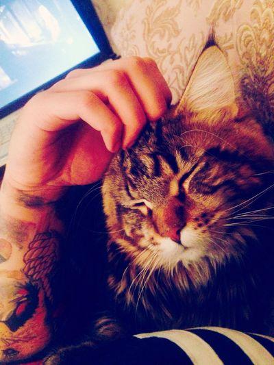 мейнкун Human Hand Cat
