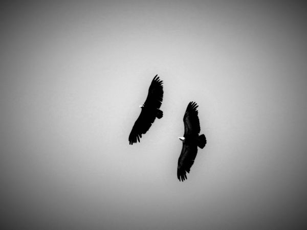 Animal Avian Beauty In Nature Bird Bird Of Prey Blackandwhite Eagle Eagles Flying Freedom Hunting Low Angle View Nature Monochrome Photography Outdoors Pair Of Birds Predator Selective Focus Silence Silhouette Sky Spread Wings Togetherness Tranquility Wildlife Black And White Friday
