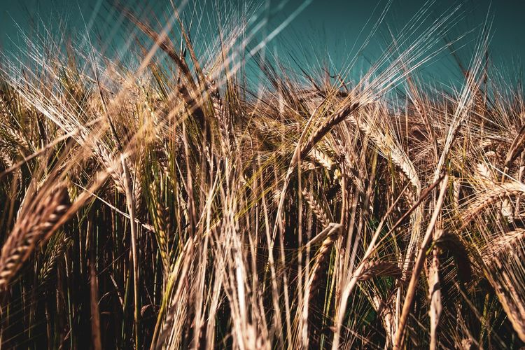 Plant Growth Nature No People Agriculture Field Day Close-up Crop  Land Tranquility Beauty In Nature Cereal Plant Landscape Rural Scene Farm Focus On Foreground Outdoors Environment Brown Stalk The Devil's In The Detail The Great Outdoors - 2019 EyeEm Awards
