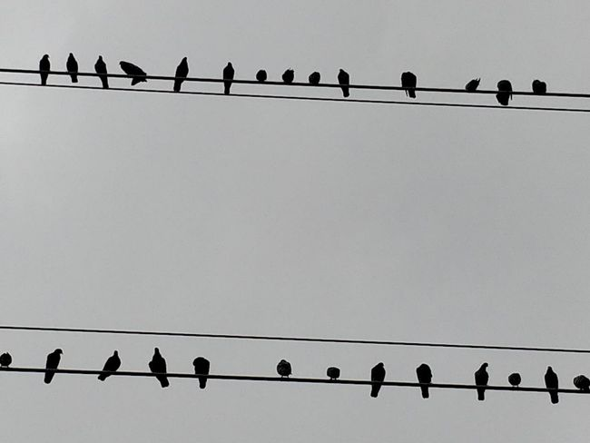 Animal Animal Themes Animal Wildlife Animals In The Wild Bird Cable Clear Sky Connection Copy Space Electricity  Flock Of Birds Group Of Animals In A Row Large Group Of Animals Low Angle View No People Perching Pigeon Power Line  Power Supply Sky Telephone Line Vertebrate