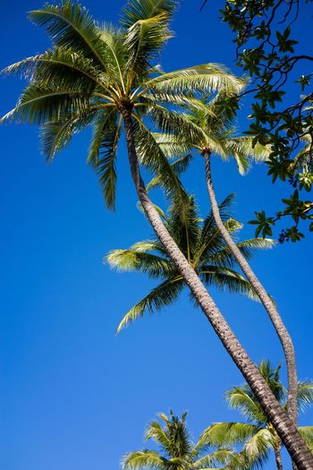 Beauty In Nature Blue Clear Sky Coconut Palm Tree Low Angle View Nature No People Outdoors Palm Leaf Palm Tree Plant Scenics - Nature Sky Sunny Tall - High Tree Tropical Climate Tropical Tree