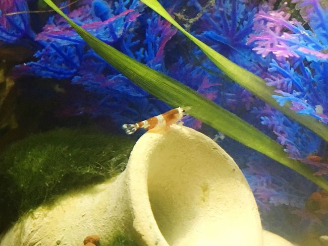 Animal Themes Garnele Aquarium Underwater Nature
