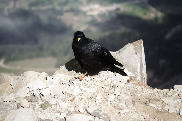 Crow On Cliff