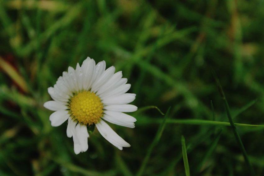 Daisy Alone Vibrant Yellow Green Grass
