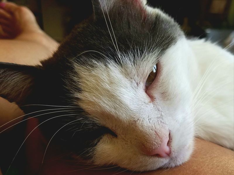 Sleepy Kitty Pets Domestic Animals Animal Themes Domestic Cat Feline Close-up One Eye Squinting Cat Nap Cat Nap Fun Meditation Enjoyment The Week On EyeEm Leisure Activity Napping Lovey Best Friend Forever Bestie  Kitty Gray White Pet Portraits