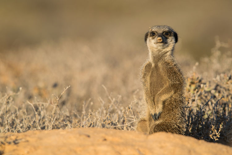 Portrait of meerkat on field