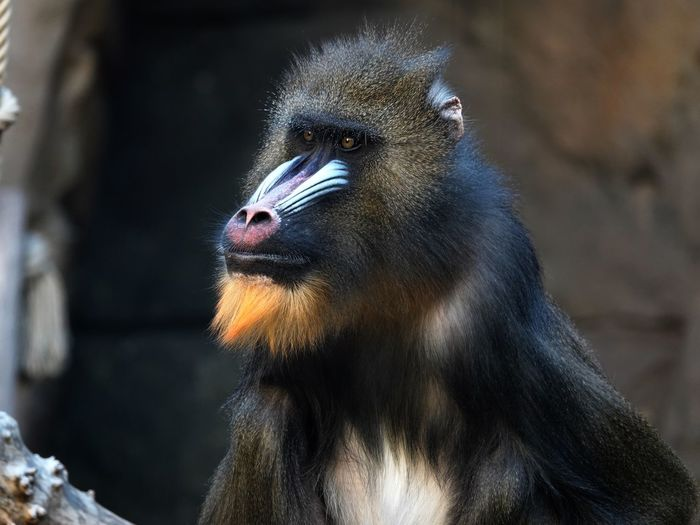 Mandrill Ape Monkey Mandrillus Sphinx Animal Themes Animal One Animal Animal Wildlife Animals In The Wild Vertebrate Bird Animal Head  Looking Away Looking Animal Body Part Close-up Primate Beauty In Nature Outdoors Nature No People Focus On Foreground Day