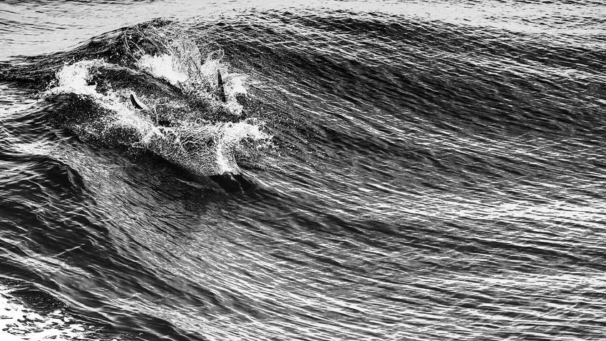 Dolphins' Flippers plow through the Ocean's Surface Animals Breakers Bw Bw_collection Dolphins Dolphins' Fin Feel The Journey Flipper Nature Ocean Open Sea Original Experiences Rippled Scenics Textured  Water Wave Waves