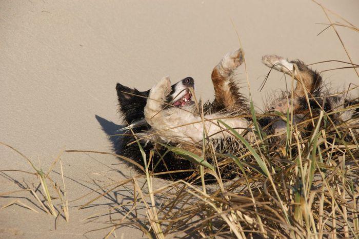 EyeEm Selects Strand ♥ Animal Themes One Animal Pets Hund Dog Dünen Niederlande Australian Shepherd  Aussies Sand Noord-Holland Aan Zee