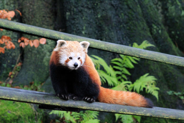 Low angle view of red panda on fence