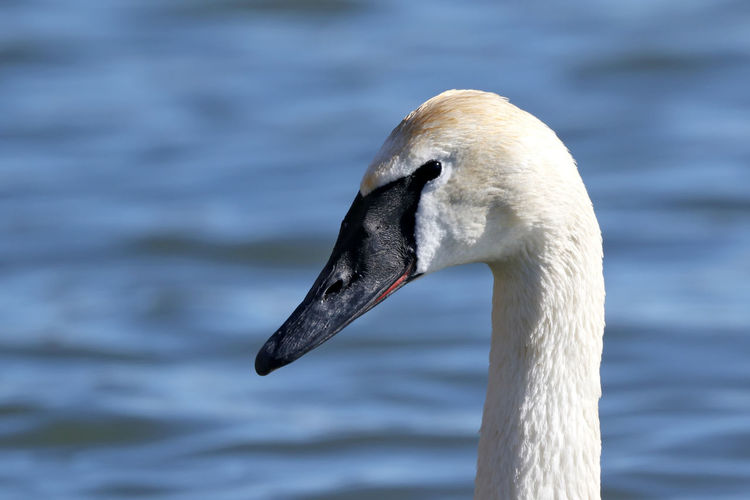 Trumpeter Swan EyeEm Best Shots EyeEm Nature Lover EyeEm Gallery Animal Animal Body Part Animal Head  Animal Neck Animal Themes Animal Wildlife Animals In The Wild Beak Bird Close-up Day Eye4photography  Focus On Foreground Lake Nature No People One Animal Swan Trumpeter Swan Vertebrate Water Water Bird