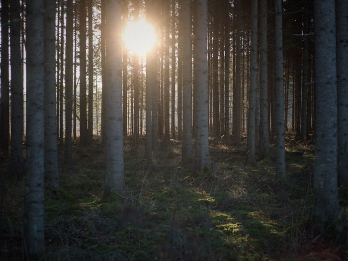Autumn light in Sweden Leica Forest Land Tree Plant WoodLand Tree Trunk Trunk Scenics - Nature Tranquility Environment Non-urban Scene Beauty In Nature Landscape Tranquil Scene Sunbeam Nature Sky No People Growth Sunlight