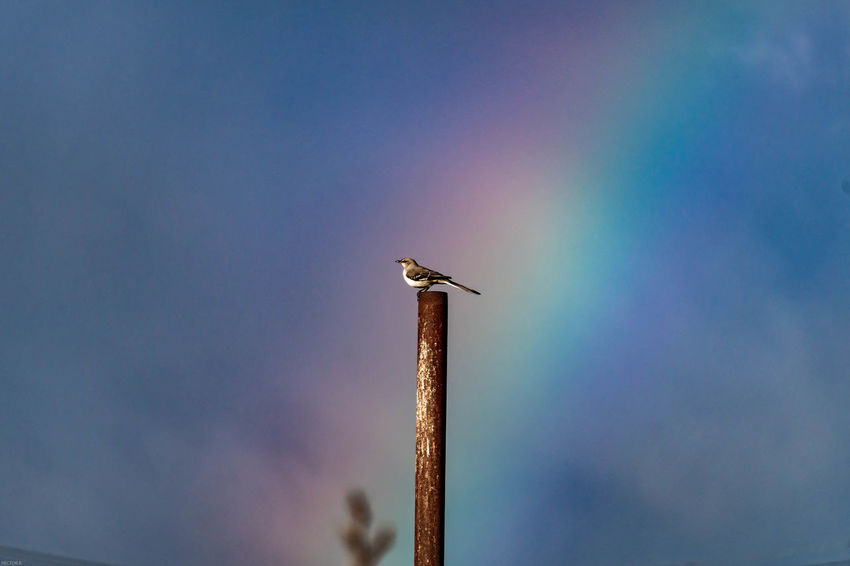 Animal Animal Themes Animal Wildlife Animals In The Wild Bird Blue Day Focus On Foreground Low Angle View Nature One Animal Outdoors Perching Pole Post Rainbow Sky
