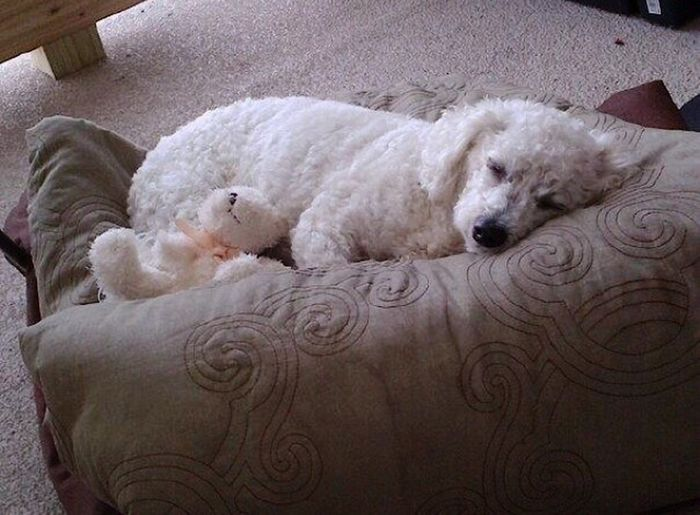 Bichon Frise Sleeping Dog Bichone Sleeping White Dog White Dog Sleeping