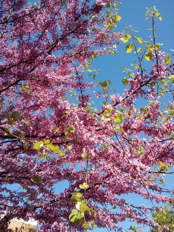 Multi Colored Full Frame Day Backgrounds Outdoors No People Flower Beauty In Nature Nature Sky Close-up Fiori Di Mandorlo Pink Flowers Italian Sky Loking At The Sky Beauty In Nature Tree Petal Purple Plant Pink Color Fragility Flower Head