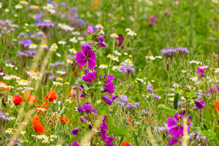 Close-up of fresh purple flowers in field