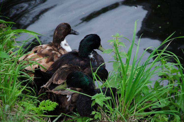 Animal Themes Animal Wildlife Animals In The Wild Bird Day Duck Duckfamily Enten Entenfamilie Ententeich Nature No People Outdoors Ruhe Und Stille See Water