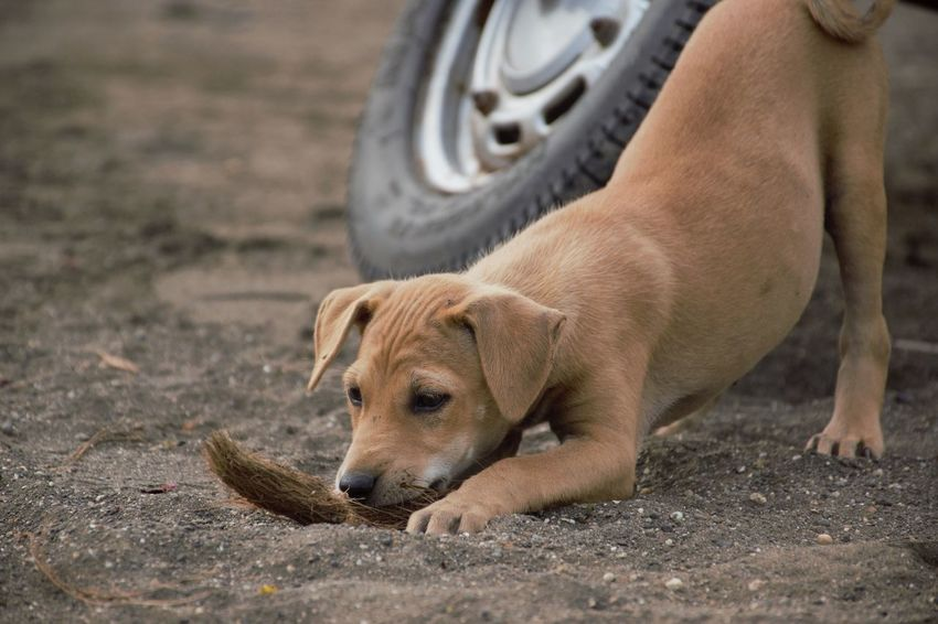 A puppy playing outdoors on a day India Maharashtra Mumbai Young Adorable Animal Canine Cute Day Dog Little Mammal Offspring Outdoors Pets Playful Playing Puppy Small Street Dog