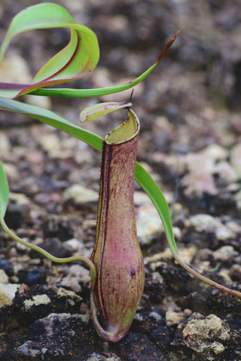 Close-up Nature Focus On Foreground No People Insect Plant Animals In The Wild Leaf Day Outdoors Animal Wildlife Animal Themes Beauty In Nature Green Color Growth Fragility Survival Freshness Kantong Semar Nephentes Pitcherplant Pitcher Plant Nature Pitcher Plants Naturetheme