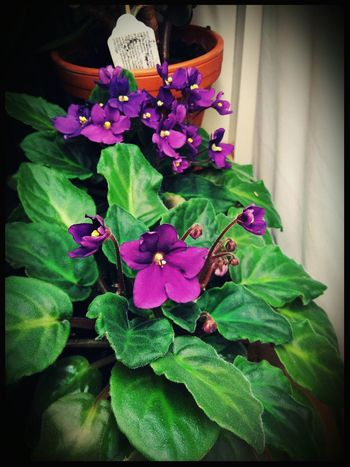 Flower Plant Plants Potted Plant In Bloom Growing African Violet