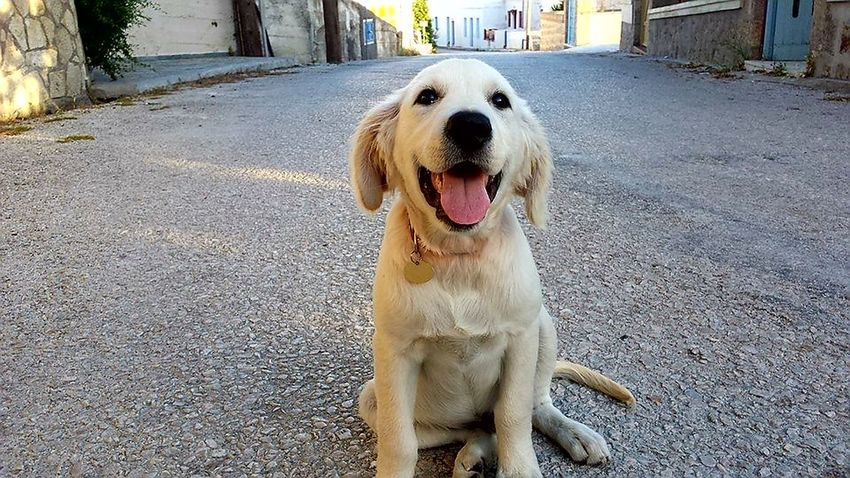 Golden Retriever Dog Pets Outdoors Qute Animals Smily Dog Puppy Puppy Love Puppies Puppy Photography Puppies Of Eyeem PuppyLove
