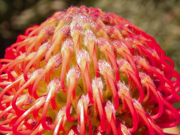 Protea Protea