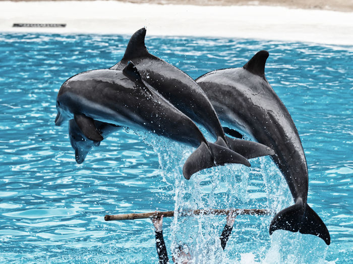Animal Fin Animal Themes Animal Wildlife Animals In The Wild Aquarium Aquatic Mammal Beauty In Nature Coordination Day Dolphin LoroParque Mammal Motion Nature No People Outdoors Representing Sea Sea Life Splashing Swimming Swimming Pool Teneriffa Water