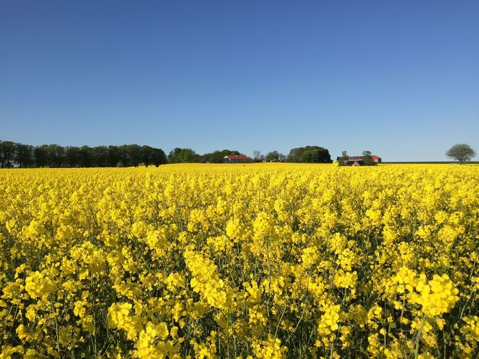 Scenic view of rapeseed field against clear sky