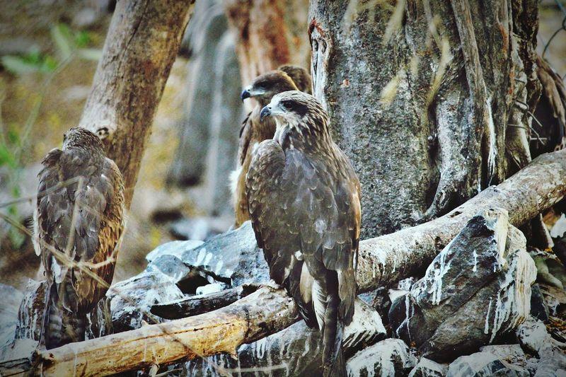 Eagle group @ Nation park, Mumbai Nation Park Rajiv Gandhi National Park Mumbai National Park Borivali National Park Eagle Eagle - Bird EyeEm Selects Day No People Outdoors Nature Animal Themes Close-up