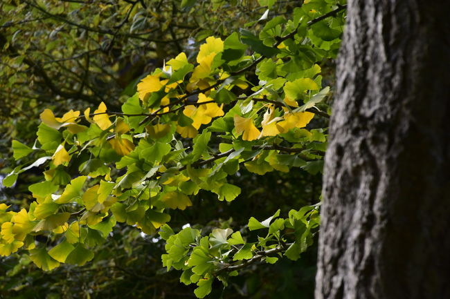 Autumn Autumn Colors Beauty In Nature Beth Chato Gardens Branch Close-up Day Elmstead Market Essex Fruit Green Color Growth Horizontal Leaf Lush - Description Nature No People Outdoors Plant Silver Birch Tree