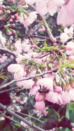 Cherry Blossom Tree Cherryblossom Cherry Blossoms Flower Cherry Tree Cherries Petal Plant Fragility Beauty In Nature Pink Color Cherry Blossom Viewing Cherry Tree Flower Cherrytree Flowerpower Cherryblossomfestival Low Angle View Close-up Tranquility