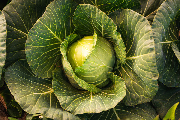 Green cabbage head closeup in nature on field. agriculture concept background