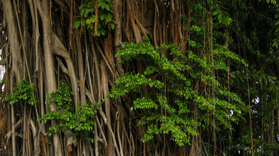 Old and wise banyan tree Banyan Tree Green Nature Photography Adventure Banyan Beauty In Nature Day Forest Growth Leaf Nature No People Old Outdoors Plant Root Tree Tree Trunk Tropical Tropical Climate