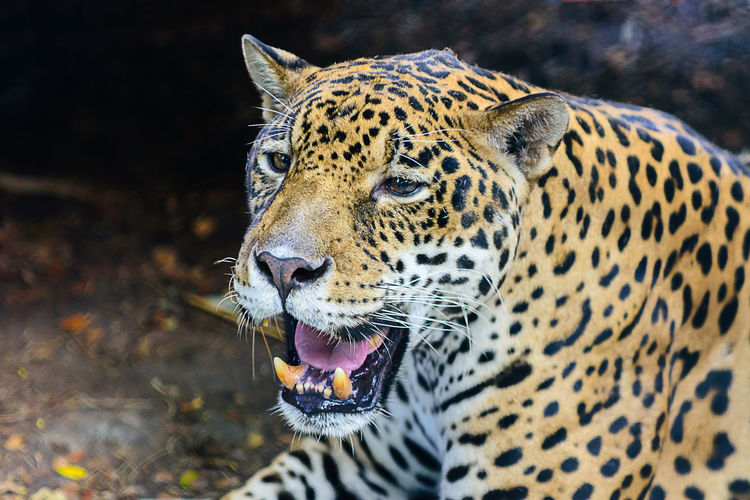 Jaguar close-up portrait Aggression  Animal Animal Body Part Animal Head  Animal Markings Animal Themes Animal Wildlife Animals In The Wild Big Cat Carnivora Cat Close-up Day Feline Focus On Foreground Leopard Mammal Mouth Mouth Open No People One Animal Outdoors Whisker