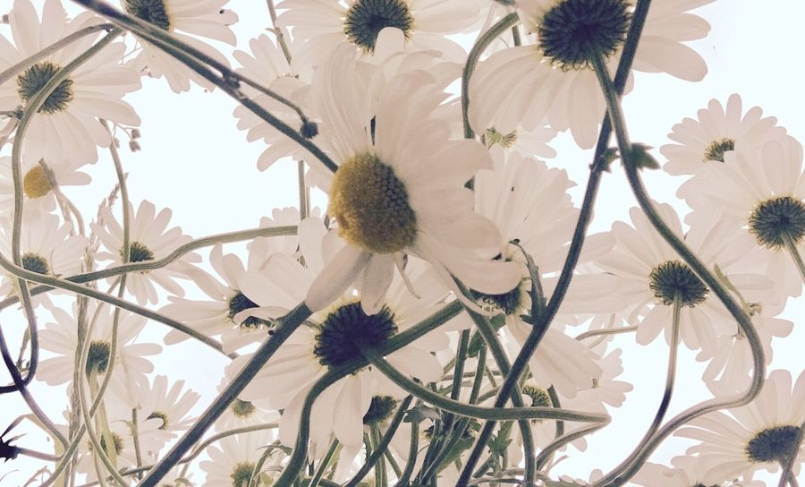 A Tangle of Daisies Abstract Beauty In Nature Blooming Botany Close-up Daisy Day Flower Flower Head Fragility Freshness Garden Growth Nature No People Open Edit Outdoors Petal Plant Pollen Softness Springtime Tree White Color The Week On EyeEm