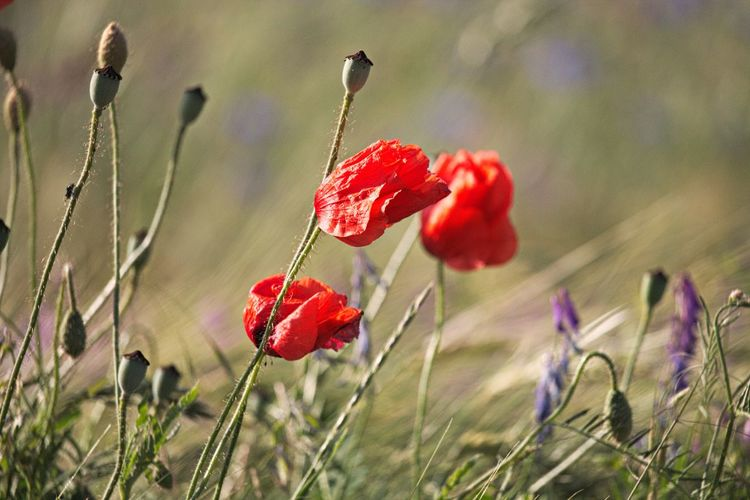 Red Flower Beauty In Nature Focus On Foreground Close-up Poppy Vulnerability  Fragility Nature Land Field Selective Focus Petal Flower Head Windy Nature_collection Nature Photography Naturelovers Beautiful Nature Natural Beauty Walking Around Taking Pictures Scenics - Nature Lovely Meadow Meadow Flowers Flower Collection Fieldscape Field EyeEm Nature Lover Eye4photography  Plant Growth Flowers, Nature And Beauty Bokeh