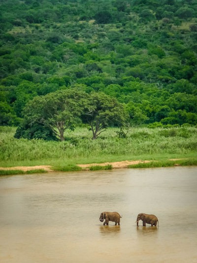 African Elephants Animal Themes Animals In The Wild Day Elephant Green Color Landscape Nature No People Outdoors Pachyderm River Riverbank Tree Two Elephants Water Wildlife