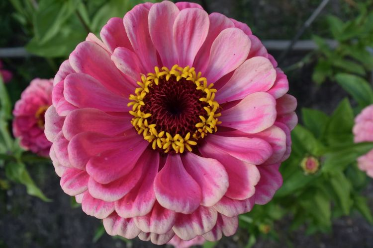 Flower Flowering Plant Plant Beauty In Nature Freshness Fragility Petal Vulnerability  Flower Head Nature Growth Inflorescence Close-up No People Day Outdoors Pink Color Zinnia  Pollen Pink Flower Single Flower Pink Zinnia