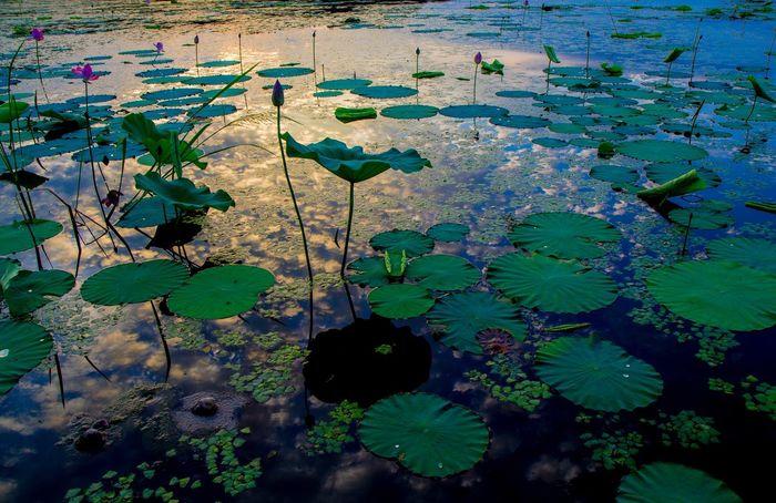 Flowers Lotus Lotus Flower Lotus Leaf 伊豆沼