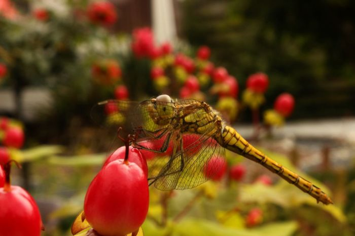 Libel Dragonfly Insect Photography Taking Photos Enjoying Life Hello World Hurdegaryp Friesland Nederland Nature Photography