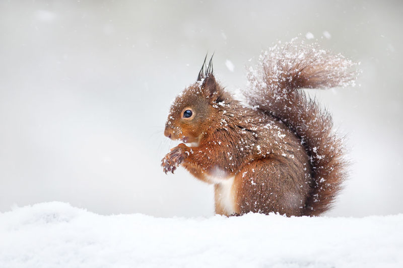 Close-up of squirrel on snow covered land