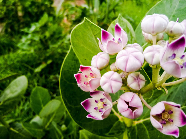 Flower Pink Color Growth Petal Nature Flower Head Close-up Beauty In Nature Fragility Freshness Day Outdoors Green Color Focus On Foreground High Angle View The Week On EyeEm Calotropis Gigantea Crown Flower