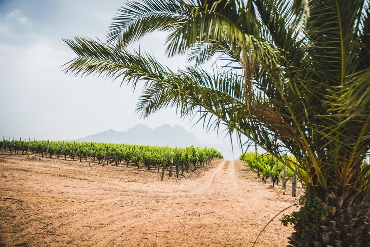 Through the palms to The vines Agriculture Field Growth Nature Tree Scenics Crop  Rural Scene Tranquility Palm Tree Landscape No People Outdoors Beauty In Nature Day Cereal Plant Sky