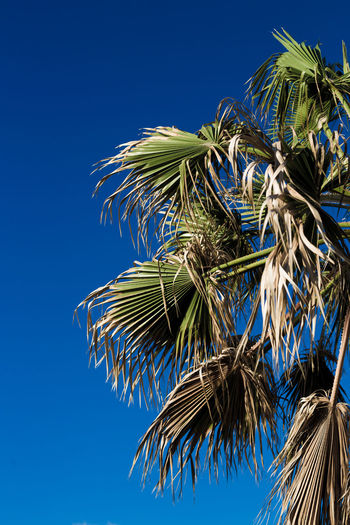 Beauty In Nature Blue Clear Sky Close-up Day Growth Low Angle View Nature No People Outdoors Palm Tree Sky Tree
