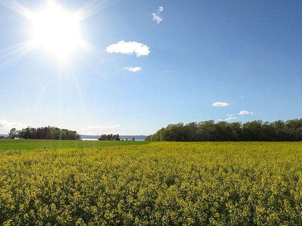 Rapeseed Field Landscape Afternoon Sun Sky And Clouds Walking Ascension Day