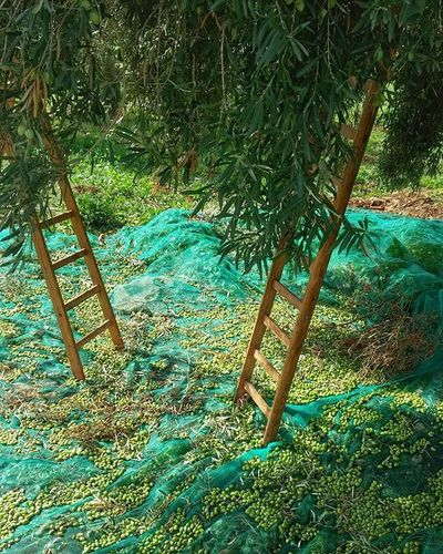 There's a big tree in my garden...Oil Tree Collecting Oliv Ladder Net Green Allgreen