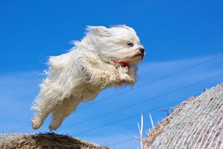 Animal Themes Blue Clear Sky Day Dog Domestic Animals Low Angle View Mammal Nature No People One Animal Outdoors Pets Sky