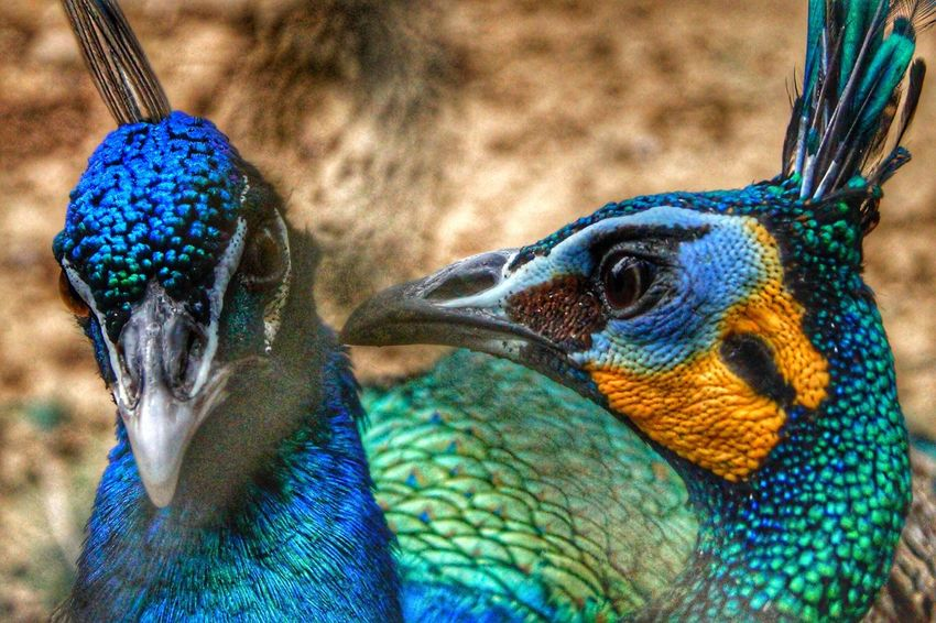 Blue Bird Animal Themes Close-up Beak Animals In The Wild No People Outdoors Animal Wildlife Peacock Day