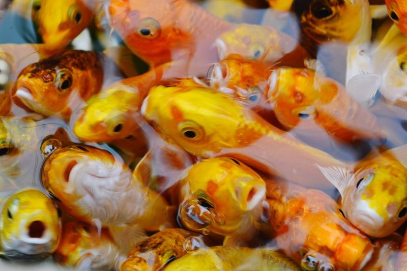 High Angle View Of Goldfish In Water